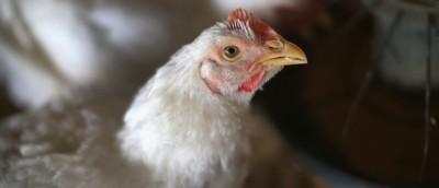 Perché i polli americani sono sempre più grossi?
