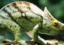 Come fanno i camaleonti a cambiare colore