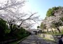 La fioritura dei ciliegi in Giappone, in alta definizione