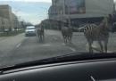 Le tre zebre scappate a Bruxelles, in Belgio