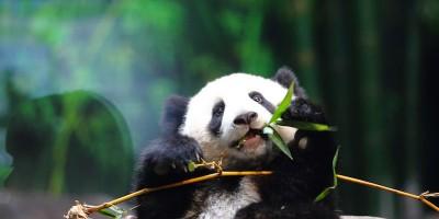 Il dilemma evolutivo dei panda
