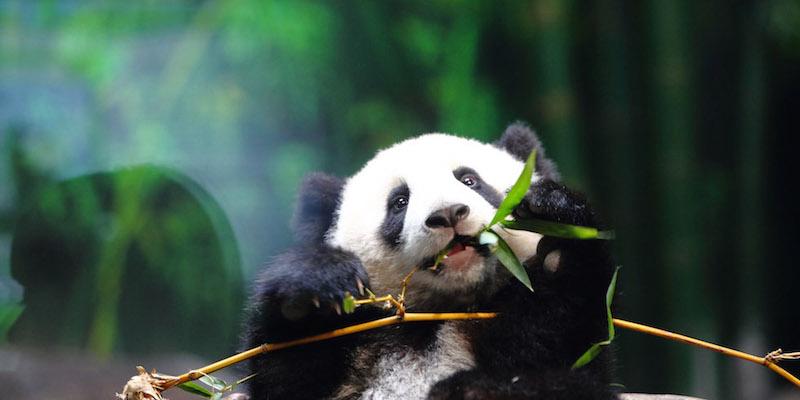 Le foto dei cuccioli di uno degli animali rari pi dolce: il panda - Ecoo 21