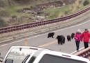 Il video dell'orso che insegue i turisti a Yellowstone