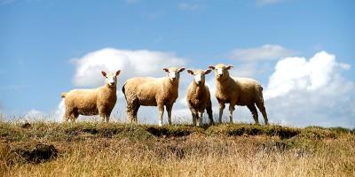 In Nuova Zelanda ci sono sempre meno pecore