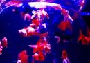Art Aquarium, la mostra del pesce rosso