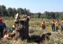 Le indagini sugli scienziati italiani che studiano la Xylella
