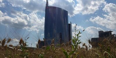 La raccolta del grano in Porta Nuova, a Milano