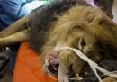 Le foto del leone operato in Israele
