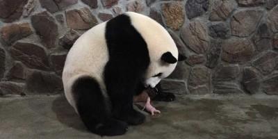 Perché i panda piccoli sono COSÌ piccoli
