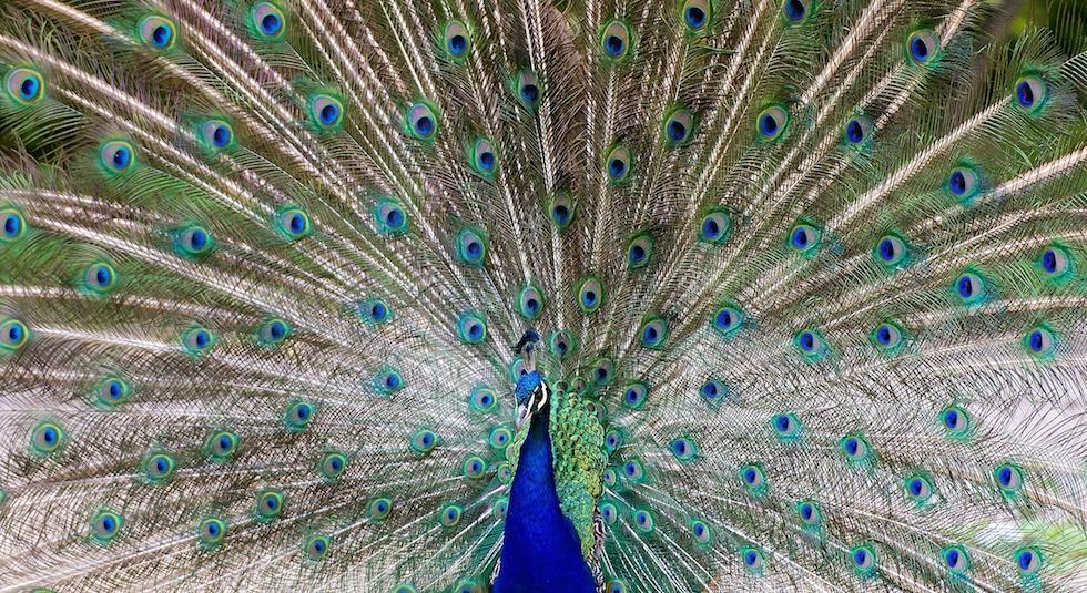 La vita disperata dei pavoni il post - Immagini pavone a colori ...
