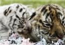 Le tigri di dieci giorni nello zoo di Bali, in Indonesia