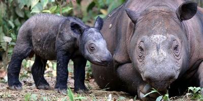 Il rinoceronte di Sumatra si è estinto in Malesia