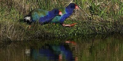 I cacciatori neozelandesi hanno ammazzato gli uccelli sbagliati