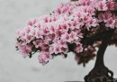 Bonsai da vicino
