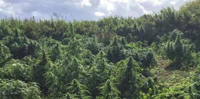 "La ""foresta"" di marijuana a Londra"