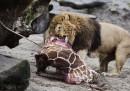 «Non facciamo a pezzi gli animali per divertimento», dice lo zoo di Odense