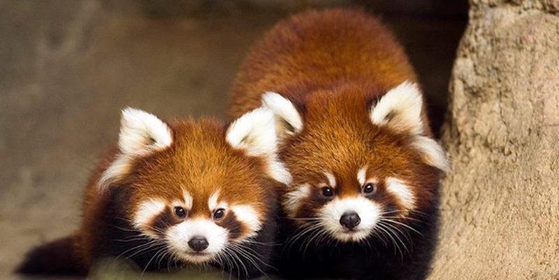 Foto dei panda rossi appena nati nella Windy City