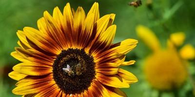 Anche alle api piace la caffeina