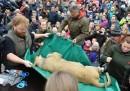 L'autopsia pubblica di un cucciolo di leone allo zoo di Odense