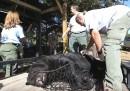 La caccia agli orsi in Florida