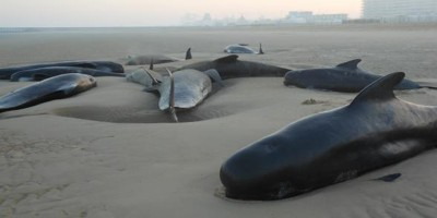 Dieci balene si sono arenate sulla spiaggia di Calais – video