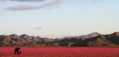 Le foto del deserto di Atacama coperto di fiori