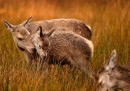 La stagione dell'amore dei cervi rossi, fotografata