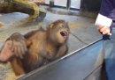 Un orango a cui piace la magia