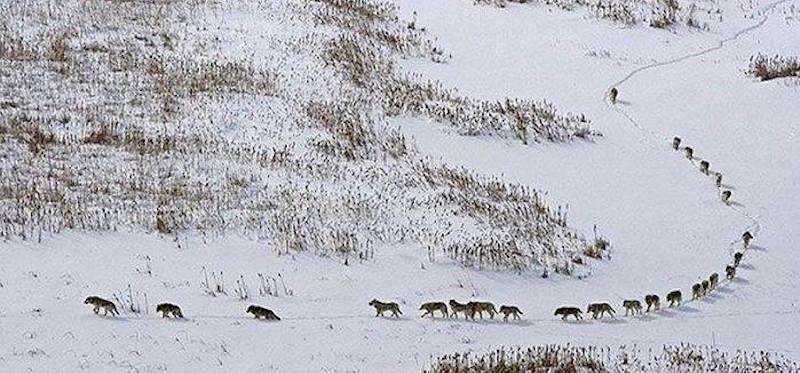 La bufala della foto dei lupi nella neve - Il Post
