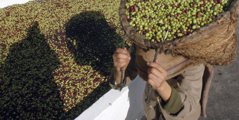 Tunisian workers carry olives during the
