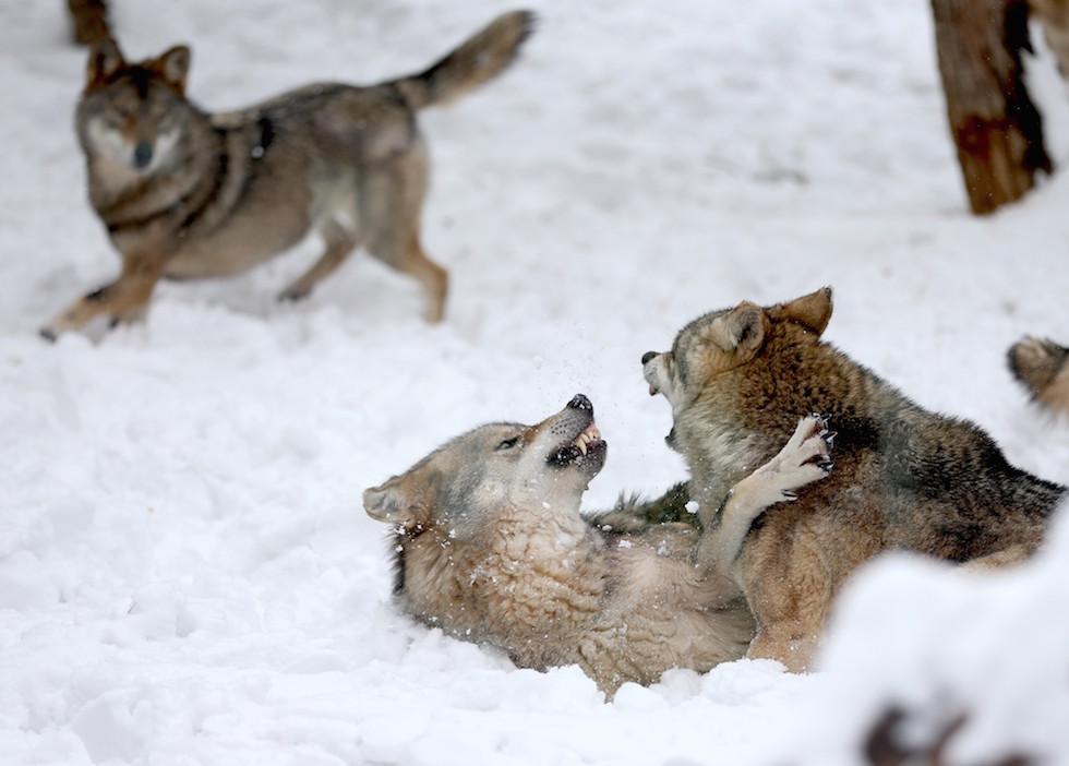 24 belle foto di animali nella neve il post for Foto desktop animali