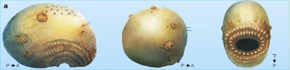 saccorhytus2
