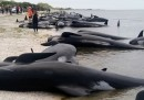 Le foto degli oltre 400 cetacei spiaggiati in Nuova Zelanda