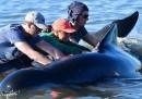 Com'è finita con i cetacei spiaggiati in Nuova Zelanda
