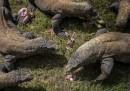 I draghi del Parco nazionale di Komodo: cosa sono e dove si trovano