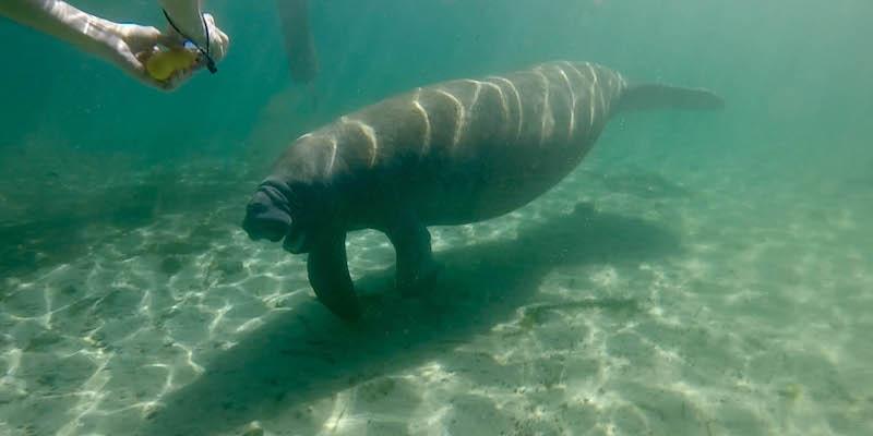I lamantini della florida sono meno in pericolo di prima for Mammiferi che vivono in acqua