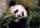 I panda sono così carini un po' per caso