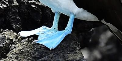 Dovete assolutamente sapere tutto su questi uccelli coi piedi azzurri