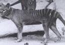 Ci sono persone che dicono che i tilacini esistono ancora