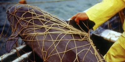 Le ultime possibilità per salvare le vaquita dall'estinzione