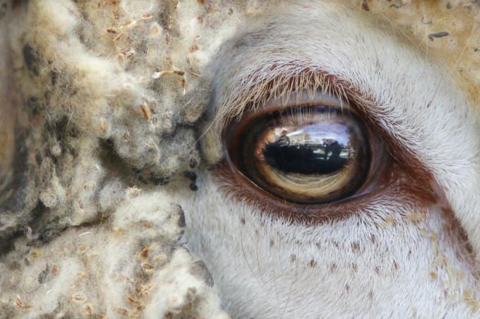 Occhio pecora