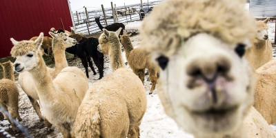 La bolla speculativa degli alpaca