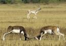 animali-aprile-antilope-cervicapra