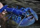 animali-aprile-aragosta-blu