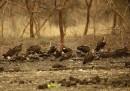 animali-aprile-avvoltoi