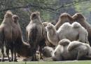 animali-aprile-cammelli-neve
