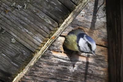 animali-aprile-cinciarella