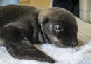animali-aprile-cucciolo-leone-marino