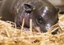 animali-aprile-ippopotamo