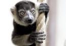 animali-aprile-lemure
